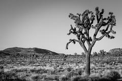 Joshua Tree (Thomas Frejek) Tags: 2016 california joshuatree joshuatreenationalpark josuapalmlilie kalifornien usa yuccabrevifolia us