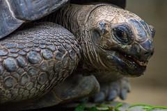 Giant tortoise (bdrc) Tags: tortoise reptile asdgraphy animal creature nature sony a6000 alpha minolta 75300mm f4556 tele zoom park outdoor life