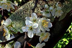 I'm Lichen PLUM BLOSSOMS (Lani Elliott) Tags: flowers blossom blossoms plumblossom spring springflowers homegarden lichen nature naturephotography