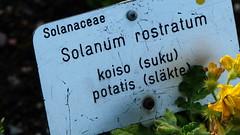Solanum rostratum (Solanaceae) (Ruissalo Botanical Garden, Turku, 20150905) (RainoL) Tags: 2015 201509 20150905 autumn botanicalgarden egentligafinland fin finland flower flowers garden geo:lat=6043286623 geo:lon=2217270553 geotagged plant plants ruissalo runsala september solanaceae solanum solanumrostratum turku varsinaissuomi ruissalobotanicgarden bo