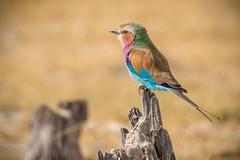 Lilac Breasted Roller (Kayla Stevenson) Tags: africa moremigamereserve lilacbreastedroller birds