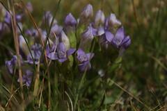 gentianes (bulbocode909) Tags: fleurs nature gentianes montagnes vert