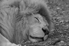The lion sleeps tonight (dfromonteil) Tags: lion king animal flin felino wildlife sleep slept endormi bw black white closeup portrait nature