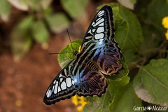 Mariposa 7 (Manolo G.A.) Tags: canon 50d 18200 mariposa butterfly mariposario njar almera