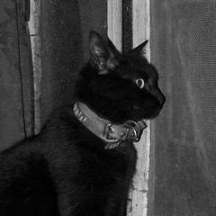 Mirando para afuera ( fOto) Tags: alina cat gato gata gatita gatito byn bw bn monocromo monochrome cuadrada square animal mascota pet gf3 lumix panasonic mirrorless m43 micro43 claudiocigliutti