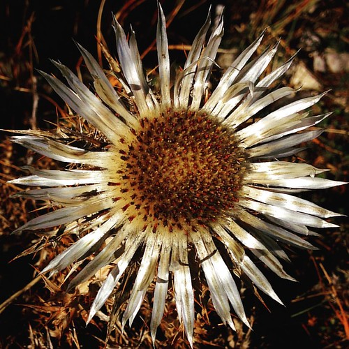 #wildartichoke #thistle #silverthistle #lovelyflowers #mountainflower #wildthistle #magicflower #beautifulflower #instaflowers #wildflowers #autumnflower #autumn #october8th #october #todaypic #silverflower