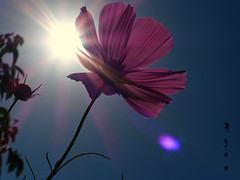 cosmos against sunshine [explored] (Ryuu) Tags: cosmos flower sunlight flare backlight blue sky macro composition focus violet purple golden skyscape flowers pink petals lowpov fz200 flowerbud sunshine sun sunrays beams lensflare lila rays cosmosflower