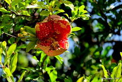 Granada abierta (Landahlauts) Tags: fujifilmxa2 fujinonxc50230mmf4567ois punicagranatum arbol frutal caducifolio granado platae magnoliophyta magnoliopsida myrtales lythraceae punica pgranatum  magraner granatapfel       andaluzia  andalusiya     andalouzia  andalusia   andalusie andaluz andaluzio europa europe andalusien     andaluca andaluzja  granada        alandalus andalousie albayzin albayyzn albayyzn albaicin aljibe barrio carmen district endulus epocaibera granadaislamica granadamusulmana patrimoniodelahumanidad quarter reinoziri