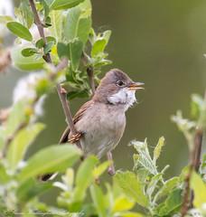 Whitethroat (steven waddingham) Tags: bird wild british nature rspb song