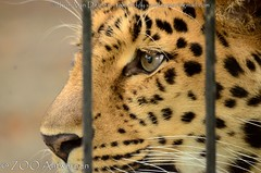 Amoerluipaard - Panthera pardus Orientalis / amurensis - Amur leopard (MrTDiddy) Tags: amoerluipaard panthera pardus orientalis amurensis amur leopard amoer luipaard siberische siberian big cat grote kat bigcat grotekat feline zoogdier mammal jarolim jarulim zooantwerpen zoo antwerpen antwerp