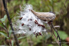 Asclepiad Explore (MarieFrance Boisvert) Tags: asclepiad asclepiads plant wildplant fall october outdoor asclepias syriaca milkweed
