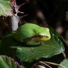 rainette verte - hyla arborea - common tree frog (dombes et ailleurs) Tags: rainetteverte hylaarborea commontreefrog grenouille amphibien amphibian dombes
