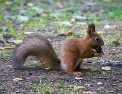 squirrel in the forest (alexeybahmetyev) Tags: squirrel scoiattolo   forest bosco  nature nikon d3300 nice bellissimo view vista viaggio  noce walnut