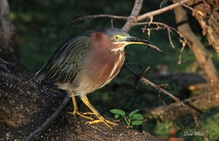 pretty bird (don.white55 Thanks a million..) Tags: greenheronbutoridesvirescens wildwoodlake wildwoodpark harrisburgpennsylvania donwhite donpwhitephotography thatswildnaturephotography canone0s7od canoneos70dtamronsp150600mmf563divcusda011 tamronsp150600mmf563divcusda011 tamron150600mm animal aquaticbird bird birdwatching bigbeak eye feathers fallentrees green greenie habitat harrisburgwildlife log landscape marsh moss mossy morning nature outdoors pennsylvaniawildlife pond pennsylvania pennsylvanialakes swamp serene usa waterfowl yelloweye