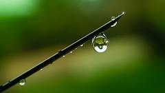 pluie-GREEN monochrome (Yasmine Hens) Tags: pluie rain drop goutte hensyasmine namur belgium wallonie europa aaa  belgique blgica    belgio  belgia   bel be 7dayswithflickr 7dwf