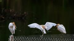 Hron garde-boeufs (Bubulcus ibis) (yann.dimauro) Tags: fr france animaux berry brenne centre centrevaldeloire cherine extrieur faune indre loire mezires oiseau ornithologie val yanndimauro