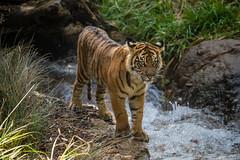 Debbie (ToddLahman) Tags: tigers tiger tigertrail tigercub teddy joanne debbie canon7dmkii canon canon100400 sandiegozoosafaripark safaripark sumatrantiger babysumatrantiger babytiger escondido exhibitc water