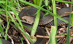 First sighting this spring - copperhead (Lesley A Butler) Tags: victoria tolmie spring snake garden copperhead australia