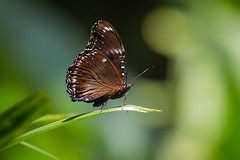 bf (BigZoic) Tags: papillon butterfly bali indonesia indonesie canon eos 60d 70300 l proxy macro