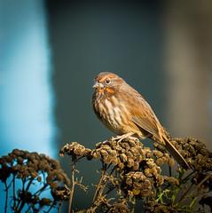 Gathering heat. (Omygodtom) Tags: wild wildlife outdoors songsparrow sparrow bird bokeh tamron90mm texture tamron red nature natural nikon d7100 park portrait flickr animalplanet