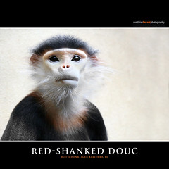 RED-SHANKED DOUC (Matthias Besant) Tags: wild baby nature animal animals female mammal deutschland monkey cub tiere klein asia little dam wildlife mother drop monkeys pup mutter mammals primate mammalia langur offspring tier affen primates vertebrate indochina affe hatchling procreation nachwuchs weiblich younganimal primat pygathrixnemaeus jungtier junges vertebrata gnathostomata catarrhini primaten newblood saeugetier saeugetiere cercopithecidae douc oldworldmonkey wirbeltiere euarchontoglires muttertier colobinae landwirbeltiere haplorrhini landwirbeltier meerkatzenverwandte trockennasenaffen altweltaffen redshankeddouc wirbeltier schlankaffe schlankaffen herrentiere rotschenkligerkleideraffe kiefermaeuler presbytini nachkoemmling hundsaffen schmalnasenaffen rotschenkligekleideraffen