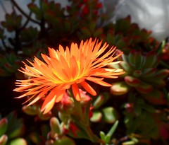 happy Labour Day (fotomie2009) Tags: world orange flower work for succulent flora day labour everyone fiore wishing lampranthus dignified aurantiacus succulenta