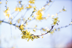 Sunny dreams (maistora) Tags: uk blue england flower tree art sunshine yellow canon 50mm prime reading spring focus branch dof blossom bokeh sony air poetic fantasy bloom watercolour stick dreamy manual f18 airy unsharp fd lightroom defocus shap nex 5018 maistora