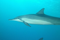 dolphin dive (BarryFackler) Tags: ocean life sea nature water ecology animal coral fauna mammal island hawaii polynesia bay marine underwater pacific dolphin being dive scuba diving sealife pacificocean tropical marinebiology diver z bigisland aquatic reef creature biology undersea marinemammal kona naia ecosystem coralreef marinelife vertebrate zoology seacreature marineecology spinnerdolphin organism cetacean honaunau konacoast odontoceti hawaiicounty southkona hawaiiisland 2013 honaunaubay stenellalongirostris marineecosystem westhawaii hawaiianspinnerdolphins konadiving bigislanddiving hawaiidiving slongirostris sealifecamera barryfackler barronfackler