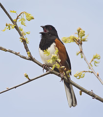 It's still Rufous-sided (J Gilbert) Tags: newjersey nwr greatswamp easterntowhee pipiloerythrophthalmus tohiflancsroux
