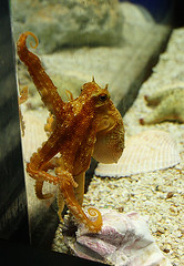 (floating_stump) Tags: tampa florida octopus thefloridaaquarium rebelxti