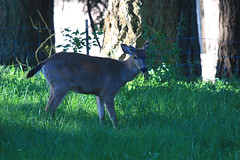 Sir Loin, the Black-tailed Deer, strikes again (artlessfun) Tags: kalama sirloin columbiablacktaileddeer artlessfun canoneosrebelt3i cowlitzcountywa img14844