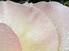 Rain Shields Deployed Captain (Steve Taylor (Photography)) Tags: pink summer plant flower macro water rain rose yellow closeup shower beads droplets petals drops flora shield