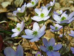 Hepatica (Mulewings~) Tags: me spring ride hubby mules peewees muleride lookingforflowers mulephotography peeweesvalley