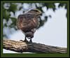 Southern Banded Snake Eagle (Rainbirder) Tags: kenya shimbahills specanimal southernbandedsnakeeagle circaetusfasciolatus rainbirder