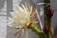 Knigin der Nacht- Queen of the Night- Selenicereus spinulosus (Marlis1) Tags: cactus queenofthenight kaktus onexplore explored knigindernacht selenicereusspinulosus mediterraneangarden marlis1 canoneos60d catalunyaspainmarliestortosa exploremay172013
