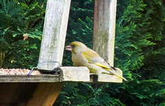 2013 05 17_Greenfinch_0004 (Keith Laverack) Tags: greenfinch 1facebook 1flickr 1keithlaverack 1wilberfoss