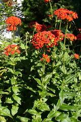 Brennende Liebe (GMH-SD-HH) Tags: flowers germany deutschland gardening hamburg blumen garten blten grtnern urbangardening gartenblumen brennendeliebe olychnischalcedonica blumenimkleingarten
