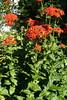 Brennende Liebe (GMH-SD-HH) Tags: flowers germany deutschland gardening hamburg blumen garten blüten gärtnern urbangardening gartenblumen brennendeliebe olychnischalcedonica blumenimkleingarten