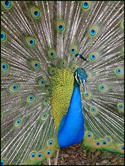 Peacock...   Wat Dom Muang,  Kalasin, Thailand... (larryoien) Tags: peacock digitalcompact lx5 flickrdiamond travellight earthasia totallythailand bestcapturesaoi