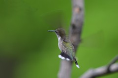 In flight (dbifulco) Tags: female inflight rubythroatedhummingbird
