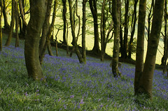 Lewesdon Bluebells (Helen @ Heart Of Glass) Tags: trees tree bluebells 35mm spring nikon hill dorset nikkor abbott stoke lewesdon beaminster d7000