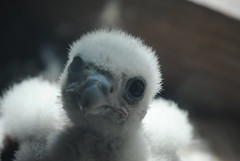 """Who you lookin' at?"" (David Sebben) Tags: nature egg iowa chick raptor falcon davenport survivor peregrine"