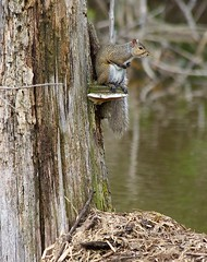 Squirrel (aurora_photog) Tags: canon50d canonef70300mmf456is