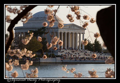 2013 Cherry Blossoms_low-12 (AJ711) Tags: cherry washingtondc memorial capital blossoms jefferson jeffersonmemorial nations nationscapital 2013 cherryblossoms2013