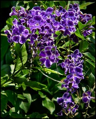 Heights Purple Flowers CloseUp (oldusephemera) Tags: city blue original light shadow red portrait people favorite woman dog pet house man flower detail cute art nature face leaves weather animal yellow closeup contrast cat fence pose garden dark bench photo funny colorful child purple artistic candid best deli emotional darling bnw viral