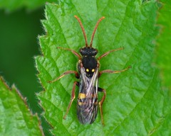 Sawfly (marmendy mill) Tags: macro closeup bug insect photo nikon essex greenleaf hymenoptera sawflies rochford sawfly symphyta doggettslake