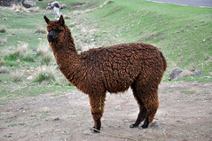 Lake Umayo Llama (ollygringo) Tags: travel peru titicaca animals farm farming llama andes llamas puno domesticated animalhusbandry umayo