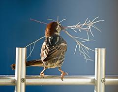 Spanich Sparrow /   (katunchik) Tags: male nature pentax natur bulgaria priroda bulgarie  bulgarien bulharsko primorsko spanishsparrow passerhispaniolensis k30