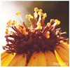 027 (imagepoetry) Tags: light summer orange sun flower macro nature yellow garden mood bokeh sunflower imagepoetry sonyalpha