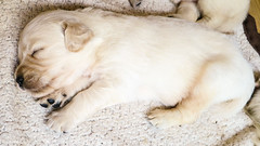 Charlie 3 weeks (Mark Rainbird) Tags: uk england dog canon puppy emailed unitedkingdom retriever charlie binfield powershots100 popeswood